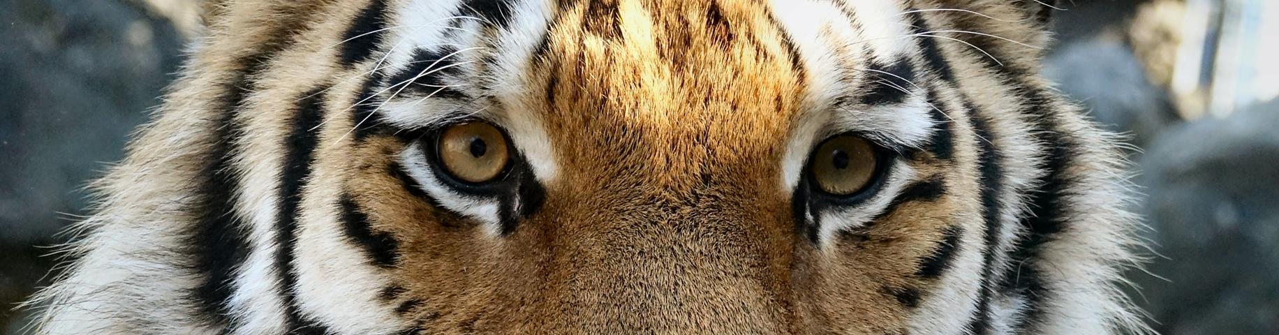 Tiger Diego im Wildkatzenzentrum Felidae
