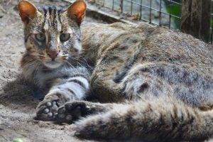 Leopardkatze quer