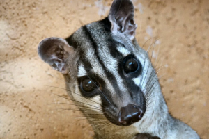 Bänderroller im Wildkatzenzentrum Felidae