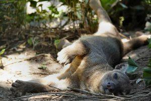 Fossa Fossa im Wildkatzenztentrum Felidae