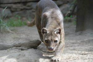 Fossa im Wildkatzenztentrum Felidae