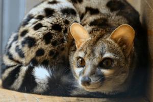 Großfleckginsterkatze im Wildkatzenzentrum Felidae