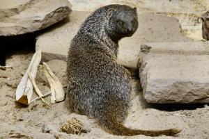 Ägyptischer Ichneumon im Wildkatzenzentrum Felidae