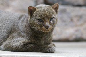 Jaguarundi im Wildkatzenzentrum Felidae