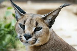 Karakal im Wildkatzenzentrum Felidae