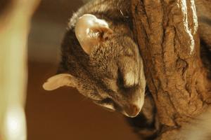 Kleinfleckginsterkatze im Wildkatzenzentrum Felidae