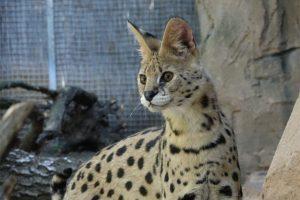 Serval im Wildkatzenzentrum Felidae