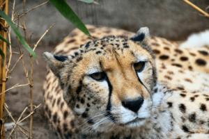 Gepard im Wildkatzenzentrum Felidae