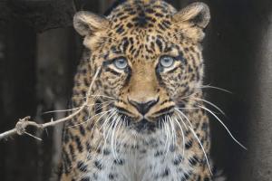 Leopard im Wildkatzenzentrum Felidae