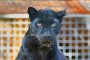 Schwarzer Leopard im Wildkatzenzentrum Felidae