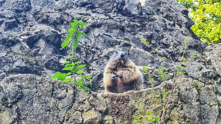 Das Alpenmurmeltier ist nur selten in Zoos und Tierparks vertreten. Obwohl es zu den in Deutschland einheimischen Tieren gehört, haben die meisten noch nie ein echtes Murmeltier gesehen.