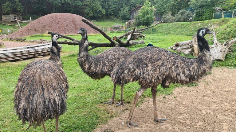 Der Vogelpark Heiligenkirchen bietet neben klassischen Volieren auch viele Besucherhighlights, wie die begehbare Australienanlage. Hier kommt man den großen Emus ganz nahe.