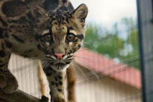 Nebelparder im Wildkatzenzentrum Felidae