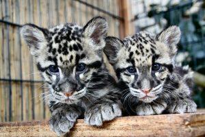 Nebelparderjungtiere im Wildkatzenzentrum Felidae