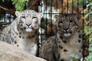 Schneeleoparden im Wildkatzen- und Artenschutzzentrum Felidae, Foto Michael Kolbe