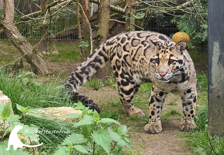 Nebelparderkater Bob im Felidae Wildkatzen- und Artenschutzzentrum Barnim (1)_1