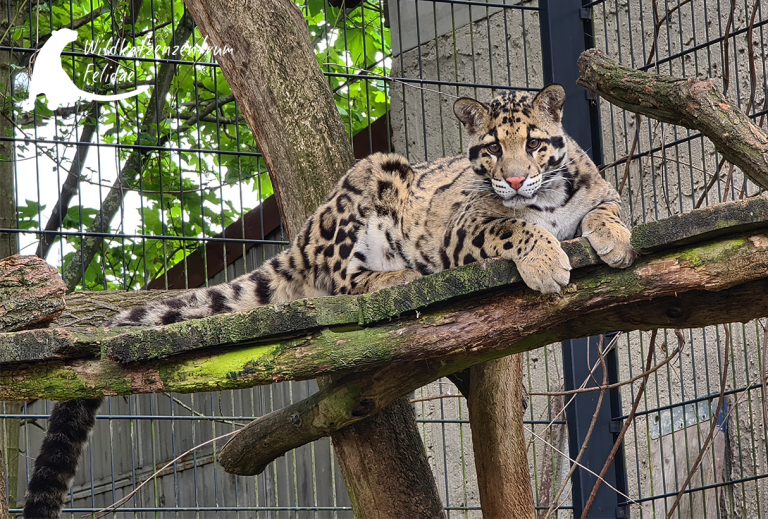 Nebelparderkater Bob im Felidae Wildkatzen- und Artenschutzzentrum Barnim (2)