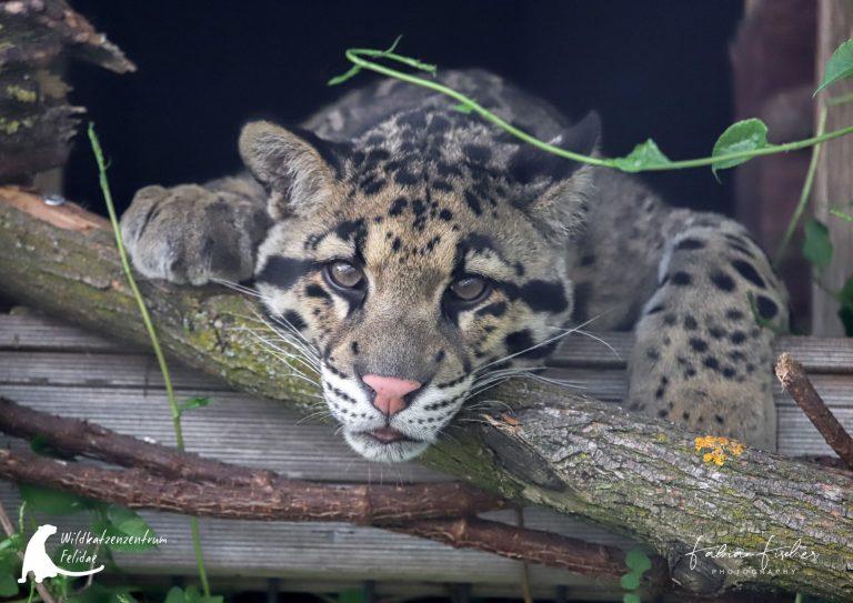 Nebelparder im Wildkatzenzentrum