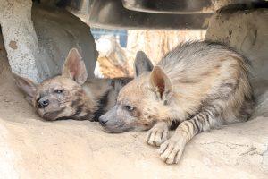 Streifenhyäne im Wildkatzenzentrum Felidae