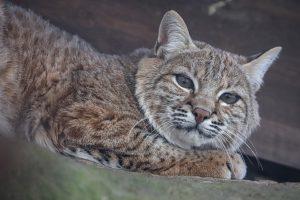 Rotluchs im Wildkatzenzentrum Felidae