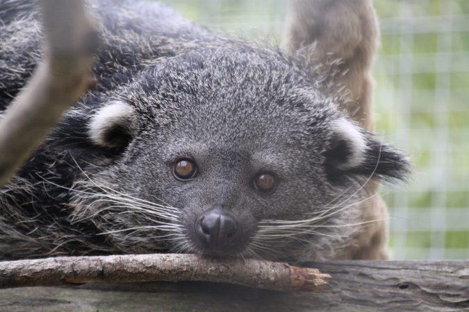 Palawan-Binturong im Wildkatzenzentrum Felidae